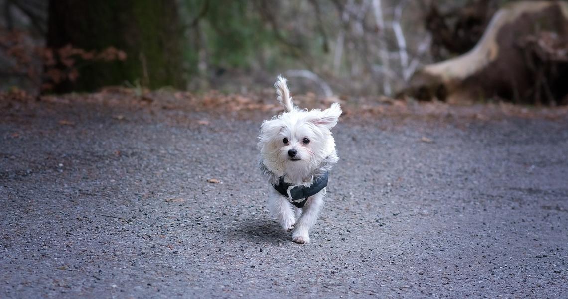 malteser hund charakter und wesen aktiv 1140x600 - Hunde Blog