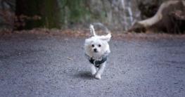 malteser-hund-charakter-und-wesen-aktiv
