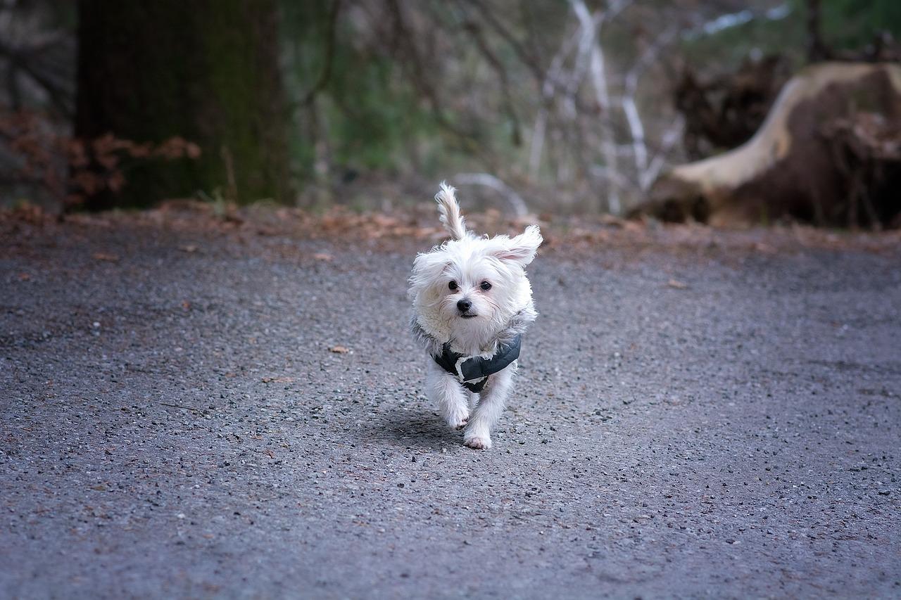 Malteser Hund aktiv Charakter und Wesen
