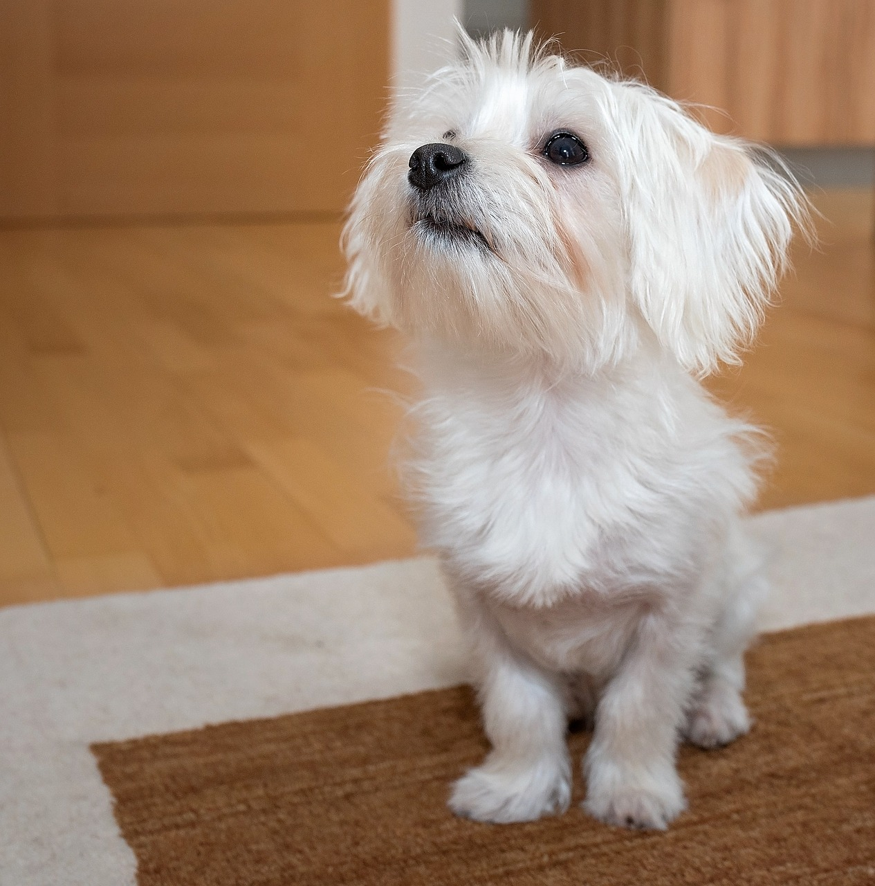 malteser hund charakter und wesen ansprechbar gutmuetig neugierig treu intelligent - Malteser Hund Charakter und Wesen