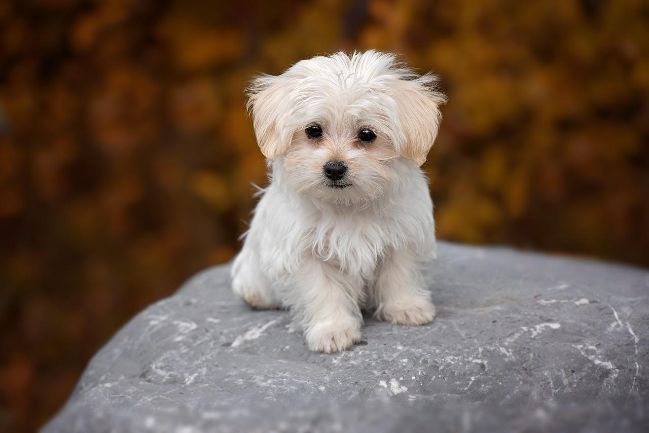 Malteser Hund Charakter und Wesen