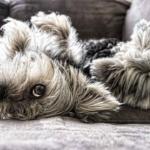 Wie gewöhne ich meinem Hund das Springen aufs Sofa ab?