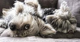 Wie gewöhne ich meinem Hund das Springen aufs Sofa ab