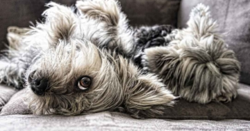 Wie gewöhne ich meinem Hund das Springen aufs Sofa ab 360x189 - Hunde Blog