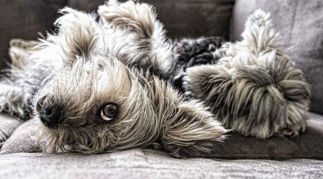 Wie gewöhne ich meinem Hund das Springen aufs Sofa ab 1080x600 - Hunde Blog