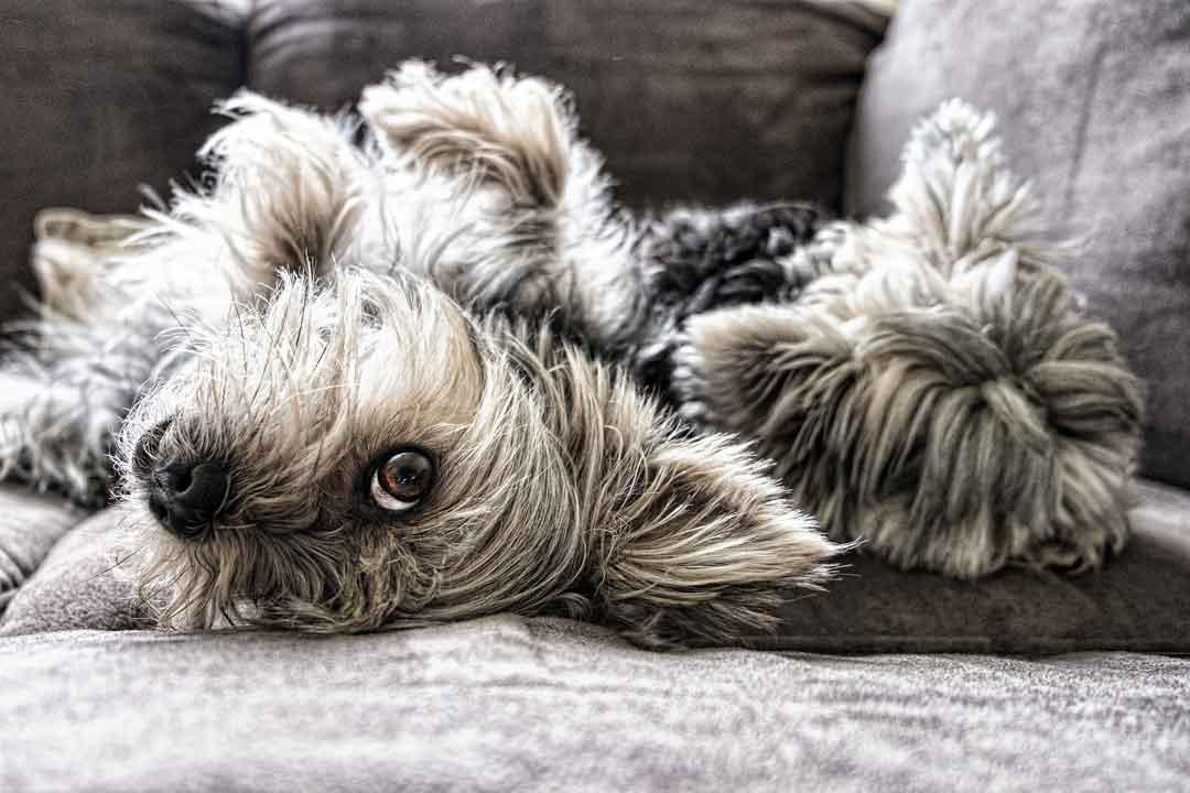 Wie gewöhne ich meinem Hund das Springen aufs Sofa ab - Wie gewöhne ich meinem Hund das Springen aufs Sofa ab?
