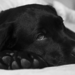 Können Hunde das Corona-Virus übertragen?