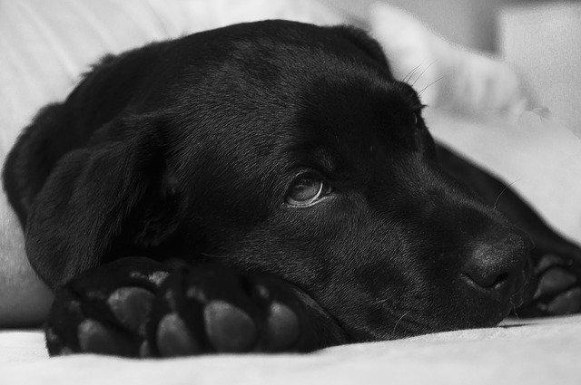 Corona-Krise 2020: Die Fragen, die sich wahrscheinlich gerade jeder Hundebesitzer in der Corona-Krise stellen sind die Folgende: Kann mein Hund das Corona-Virus übertragen? Wie gefährlich ist das Corona-Virus (COVID-19) für Hunde?